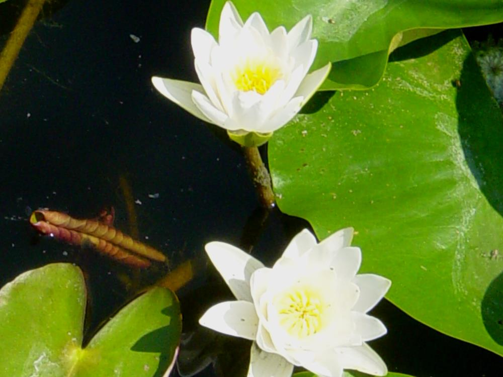 Water lily in the biotope Zussis